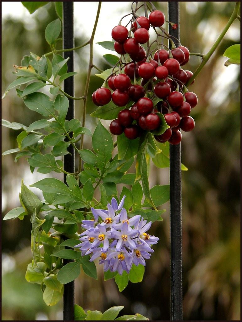 Climbing nightshade  flowers and fruit  Species Solanum