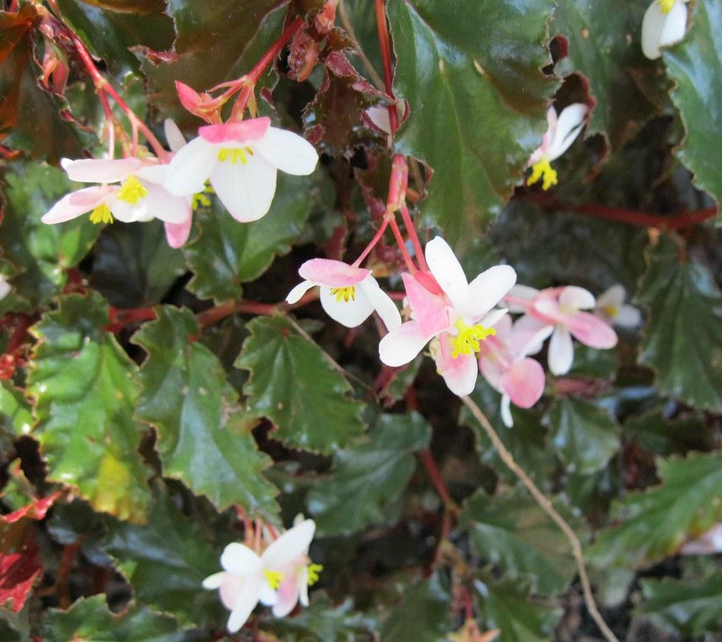 Begonia species  hybrids  Name Begonia species  hybrids   Flickr