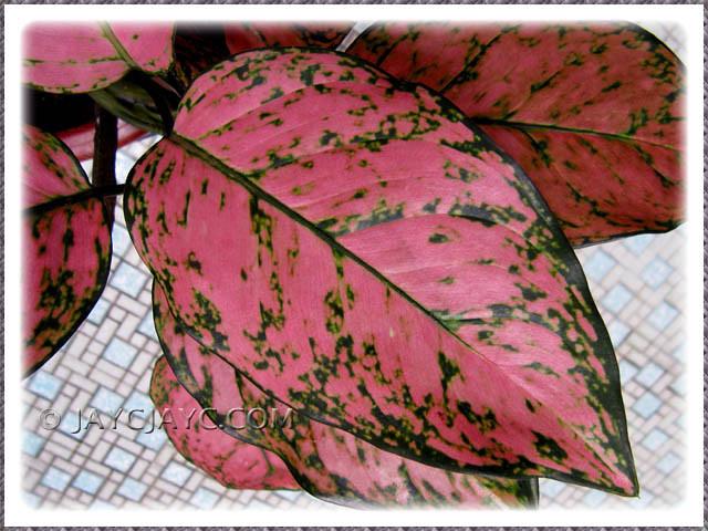 Aglaonema Valentine A Thai Hybrid With Striking Pinkgr