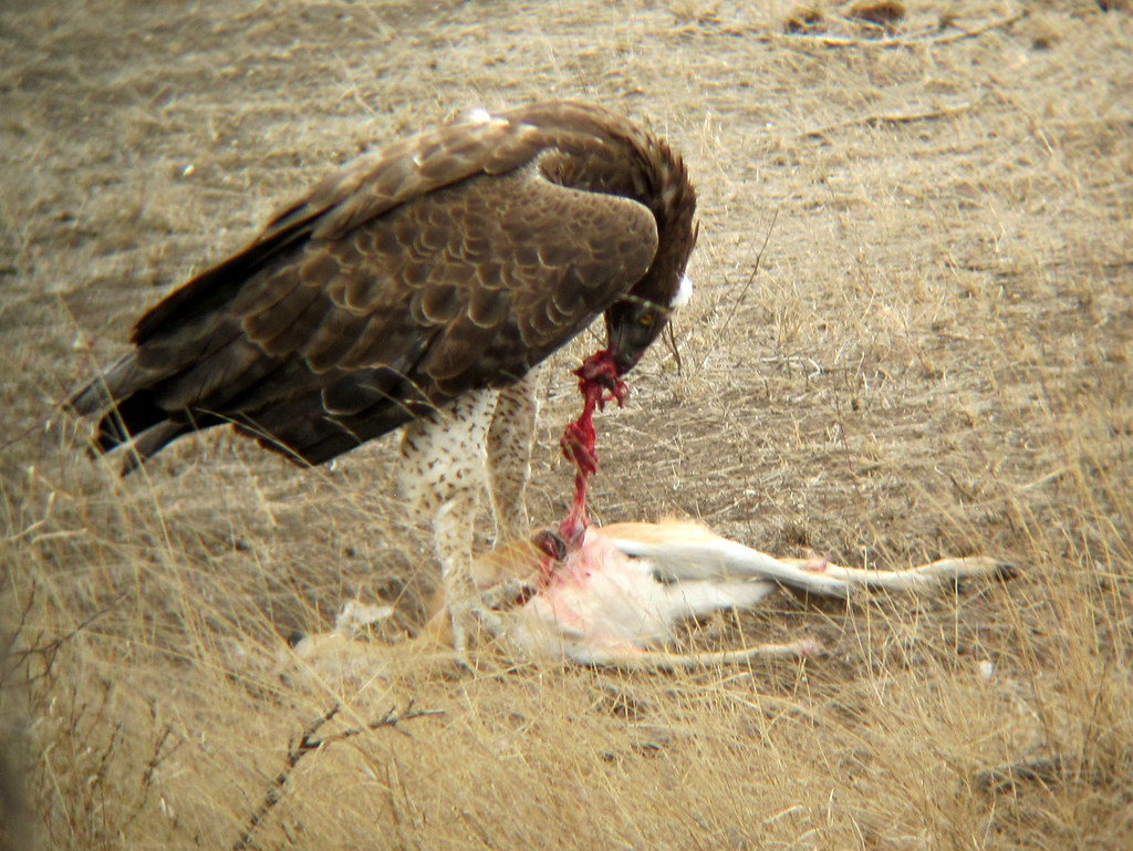 Animals And Birds Wallpaper Martial Eagle Eating Steenbok This Martial Eagle Killed