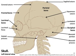 Skull diagram, lateral view with labels part 1  Axial Ske