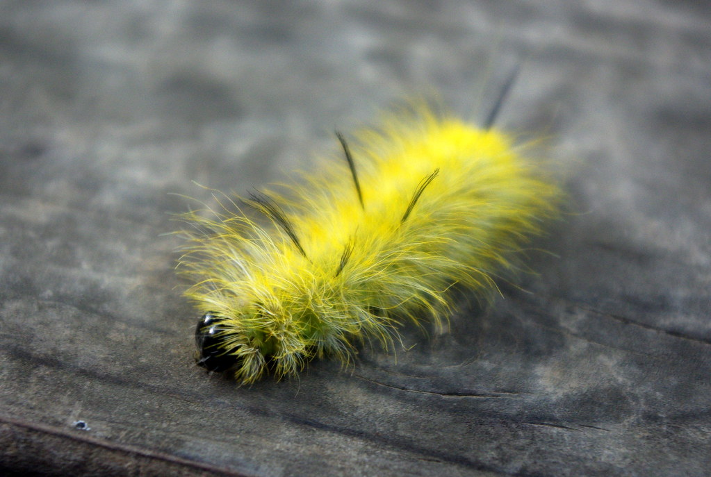 A yellow hairy caterpillar  I wish Id had my macro lens on  Flickr