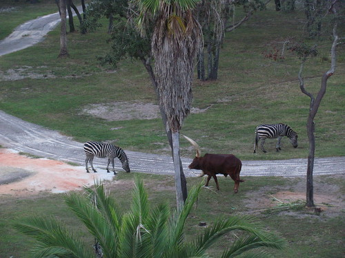 View of Zebra and Ankole Cattle from our room at the Animal Kingdom Lodge