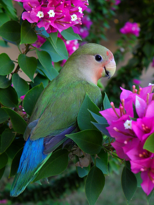 Animal Print Pink Wallpaper Peach Faced Love Bird Almost All Grown Up Explored