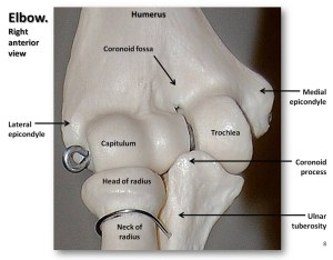 Bones of the elbow, closeup anterior view with labels  A