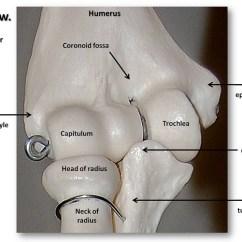 Knee Diagrams Anatomy Of A Iron Carbon Diagram Explanation Pdf Bones The Elbow, Close-up Anterior View With Labels - Appendicular Skeleton Visual Atlas ...