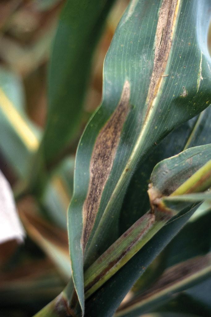 Turcicum Leaf Blight On Maize Maize Leaf Showing