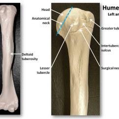 Humerus Bone Diagram Bulldog Remote Starter Wiring Diagrams Anterior View With Labels Appendicular Skeleton