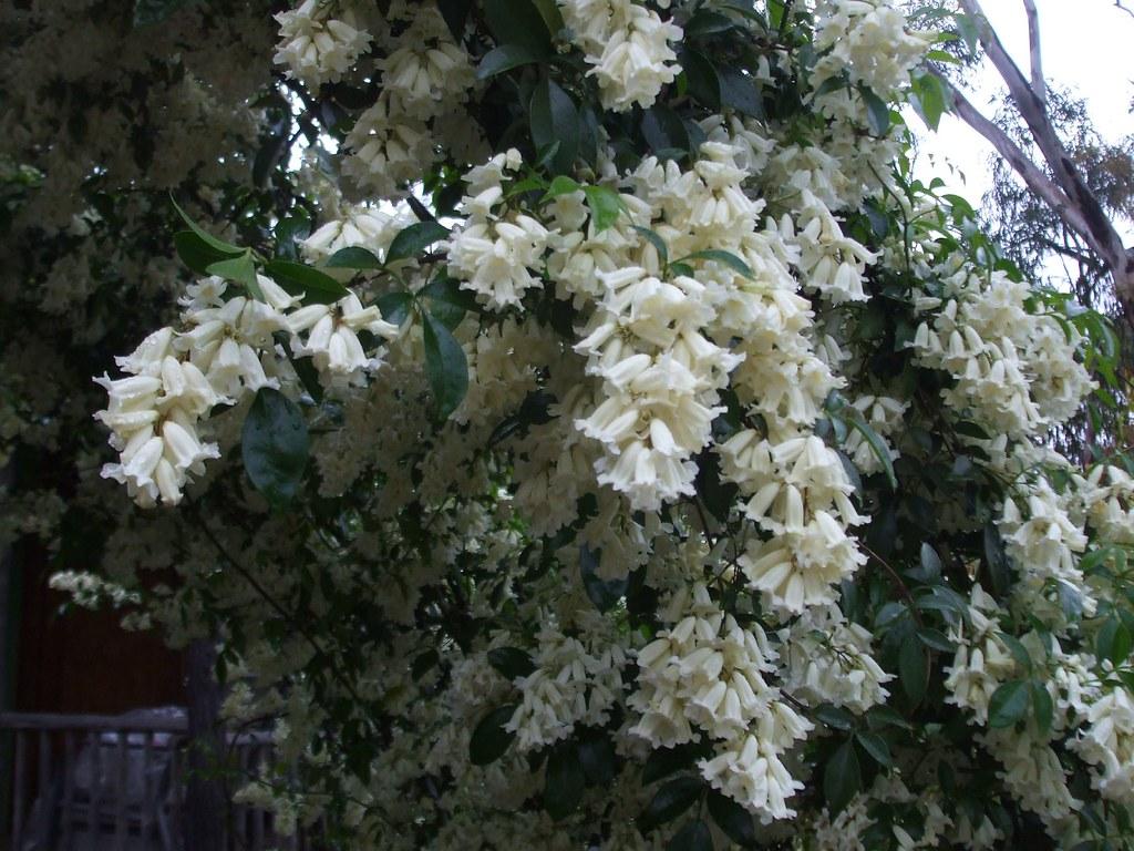 Pandorea Pandorana  Snow bells  We planted a native