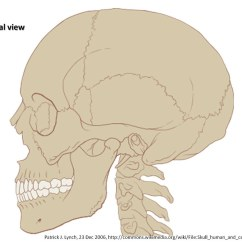 Lateral View Skull Sutures Diagram Gems Pressure Transducer Wiring Axial Skeleton Visual Atlas