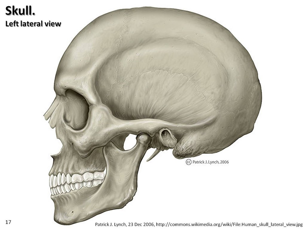 lateral view skull sutures diagram 1999 f150 wiring illustration axial skeleton visual a