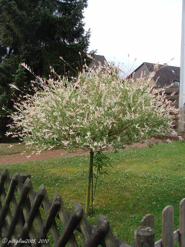 Zierbaum  ornamental plant  fotografiert am 12 Juli