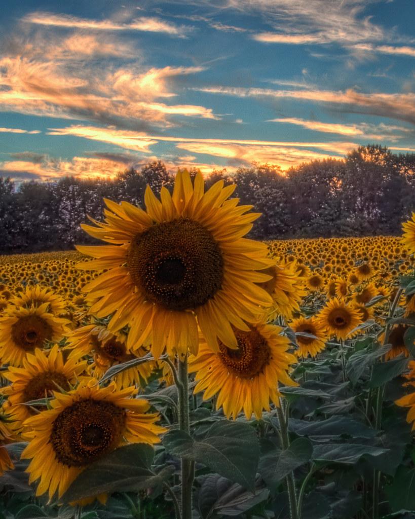 Sunflowers At Sunset Jarrettsville MD  Bill Conway  Flickr