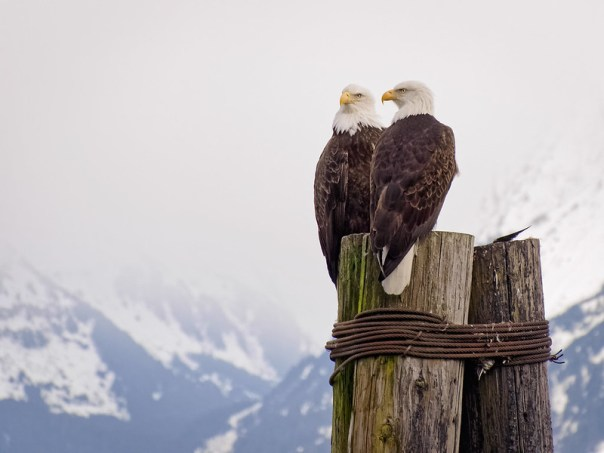 Bald Eagle Couple