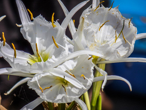 Landsford Canal Spider Lilies-008