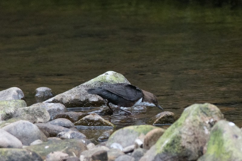A Dipper about to take the plunge