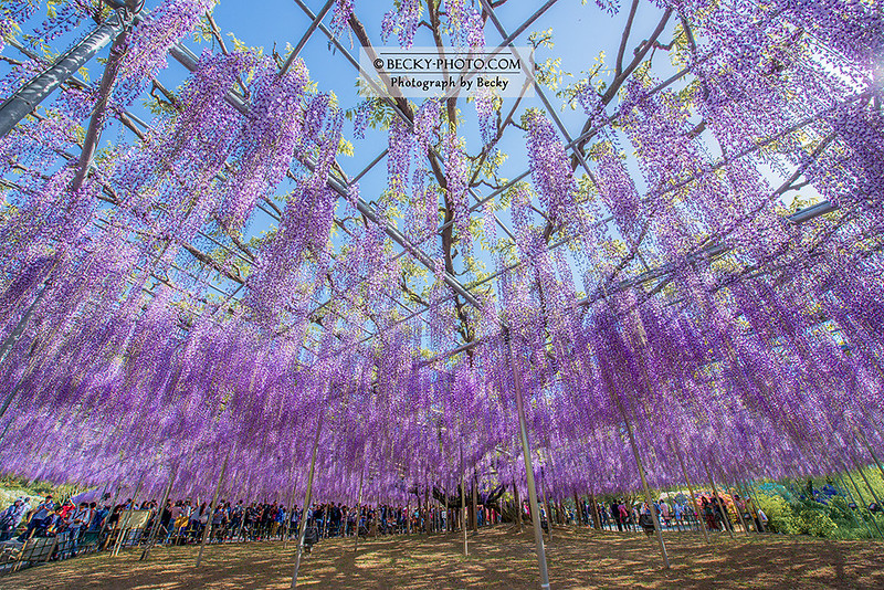 【日本】。足利紫藤花紫色靈魂樹「樹齡150年紫藤樹」世界10大夢幻旅遊景點! - [自己的小小世界] 旅遊.攝影
