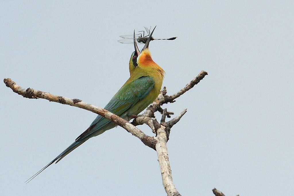 Blue-Tailed Bee-Eater ~ [ 栗喉蜂虎 ] - Bee-eaters 蜂虎 - Landbirds 陸鳥 - HKBWS Forum 香港觀鳥會討論區 - Powered by Discuz!