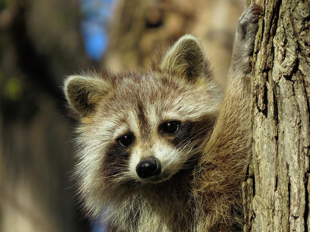 Sweet Animals Wallpaper Mignon Raton Cute Raccoon 1 Raton Laveur Raccoon