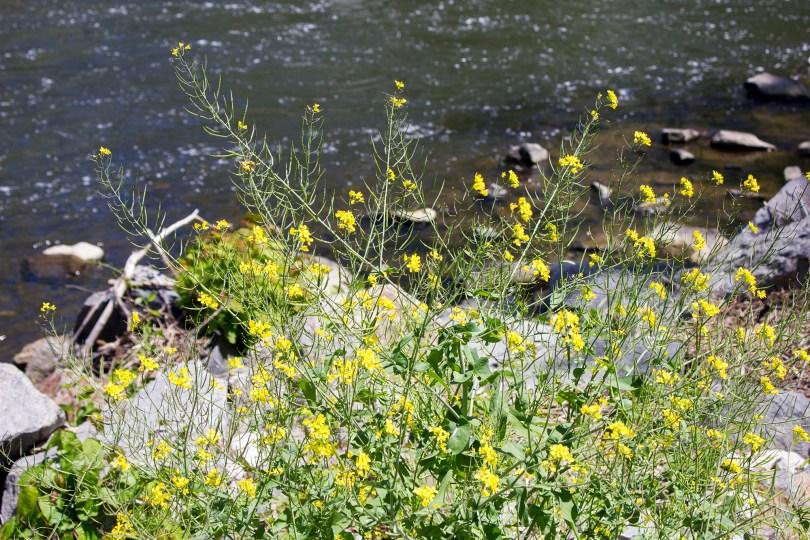 mill-flowers