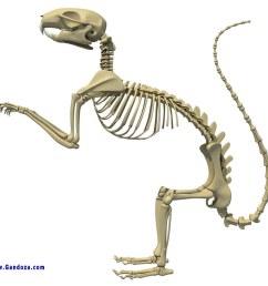 squirrel skeleton detailed 3d model of squirrel skeleton 3d squirrel ear diagram squirrel skeleton diagram [ 1024 x 819 Pixel ]