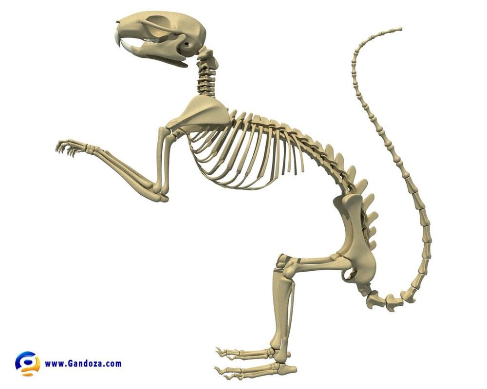 medium resolution of squirrel skeleton detailed 3d model of squirrel skeleton 3d squirrel ear diagram squirrel skeleton diagram
