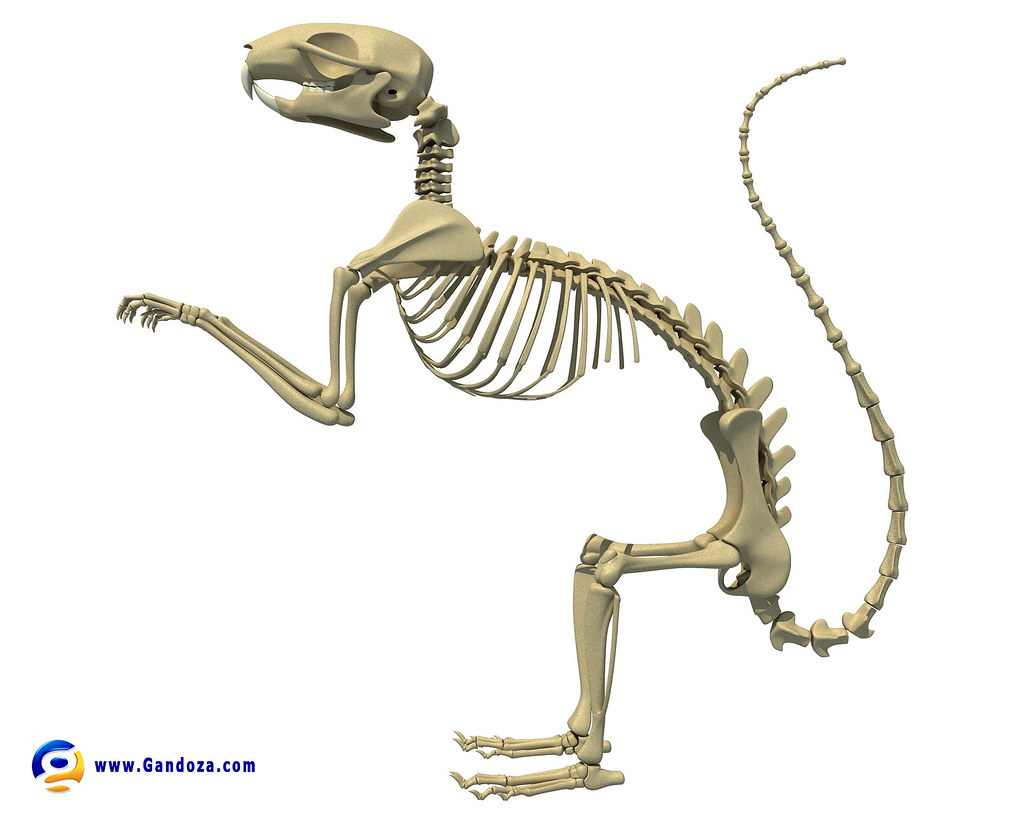 hight resolution of squirrel skeleton detailed 3d model of squirrel skeleton 3d squirrel ear diagram squirrel skeleton diagram