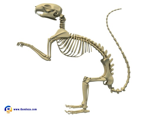 small resolution of squirrel skeleton detailed 3d model of squirrel skeleton 3d squirrel ear diagram squirrel skeleton diagram