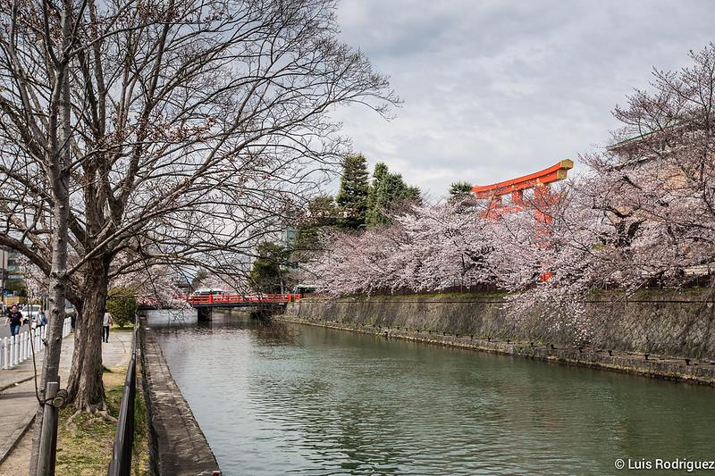 Heian-Jingu-Sakura-1