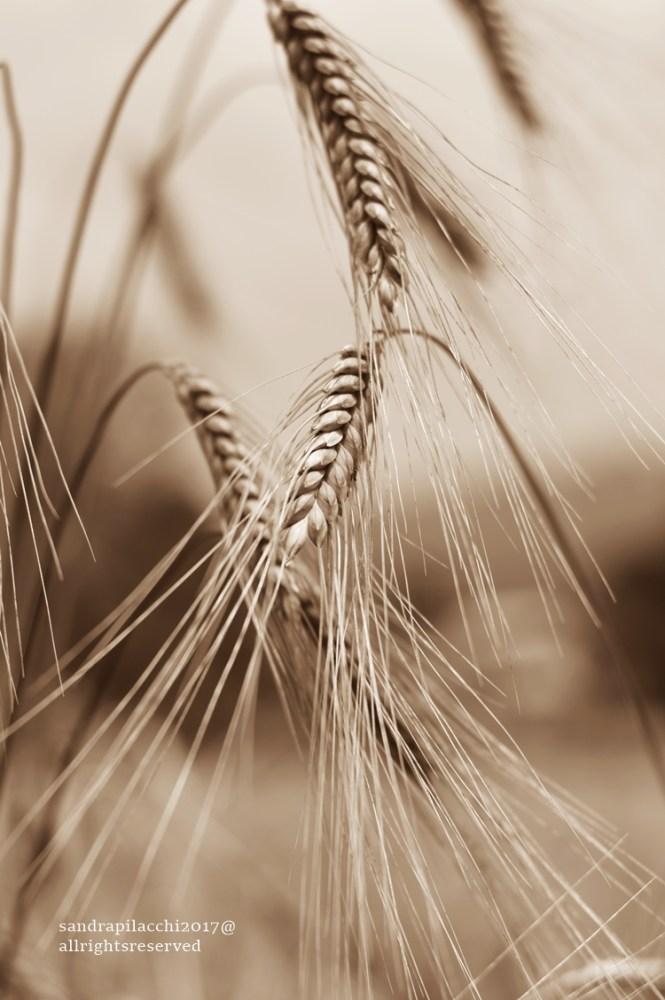 DSC_9265 grano