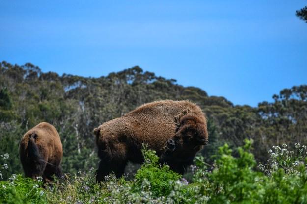 Bison in Golden Gate Park