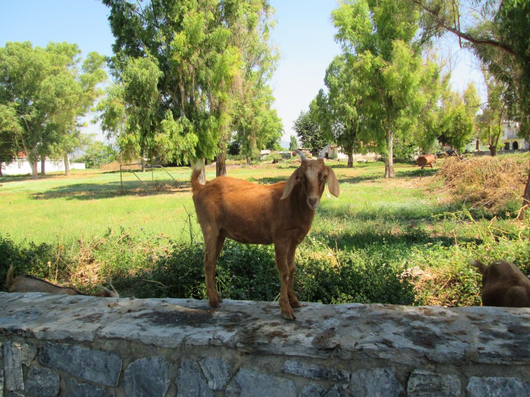 Goat on a ledge in Selcuk