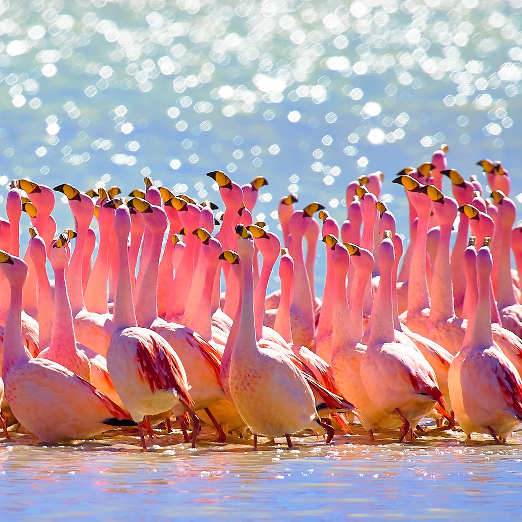 Flamingos Bolivia  From my trip to the Bolivian