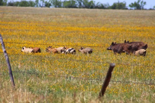 Wild hogs have become a major problem for farmers and ranchers.