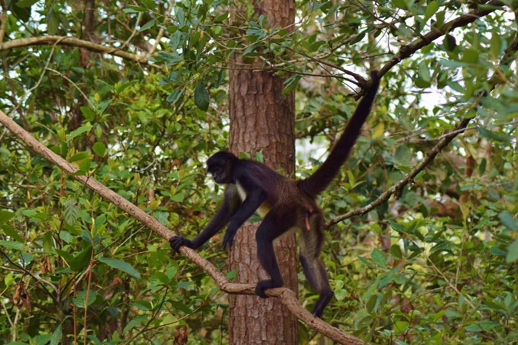 Belize Zoo - spider monkey