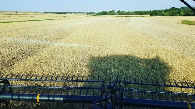 dry grain after a rain