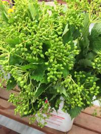 green pearl viburnum