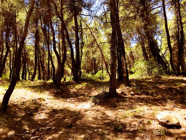 charming pine forest on geraneia mountains in greece
