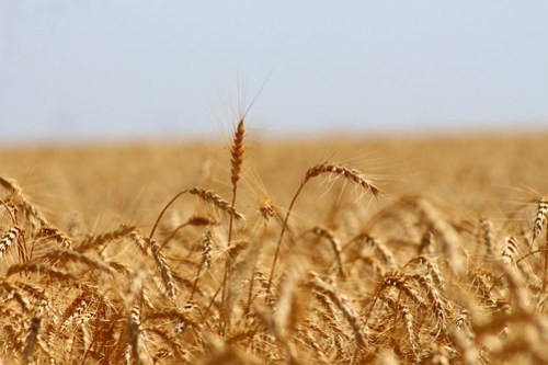 Kansas wheat is always so pretty.