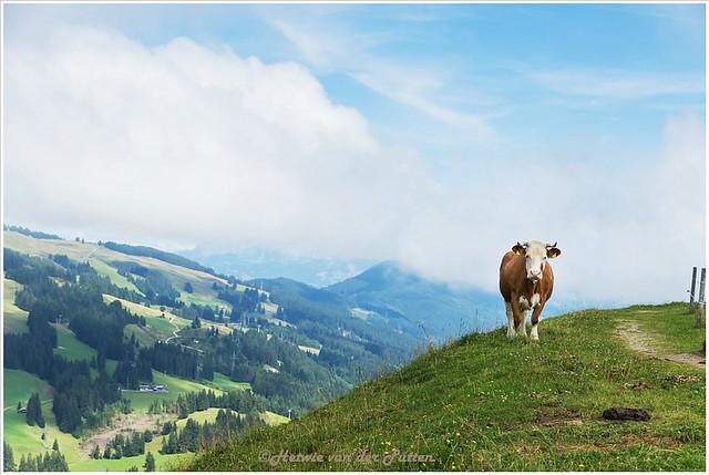 Een koe blokkeert even ons pad. Bruc vindt het maar niks dat de koe tussen hem en mij instaat.