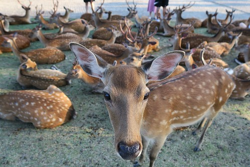 【2017日本京都七日訪】小鹿沒有亂撞。到奈良找小鹿(13 ys)