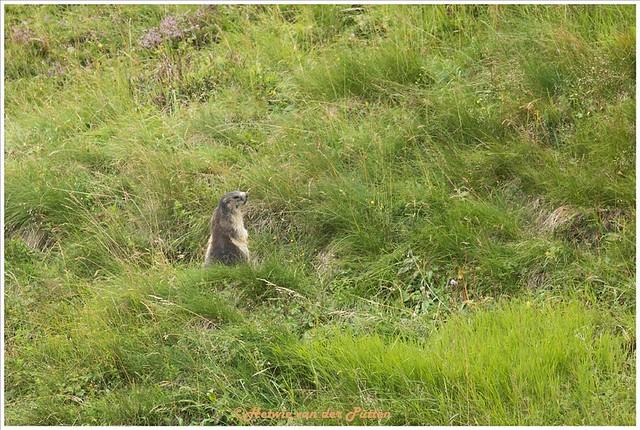 Murmeltier op een grote afstand gespot in het gras.