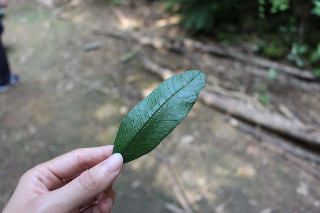 番石榴 - 臺灣環境資訊協會