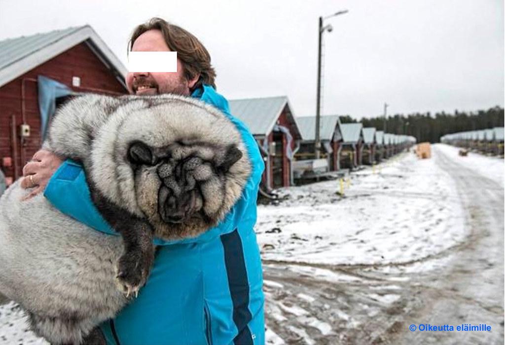 芬蘭「怪物狐貍」皮草 最大買家是中國   臺灣環境資訊協會-環境資訊中心