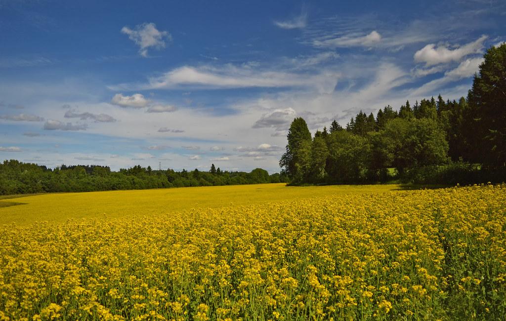 Animal Farm Wallpaper A Piece Of Finnish Countryside Rapeseed Field 🌾 Finlan
