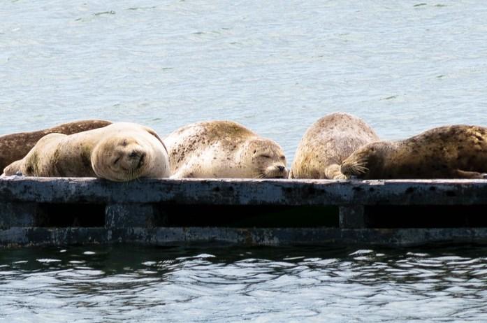 Focas descansando en Crescent City, California. Animales salvajes en el Océano Pacífico.