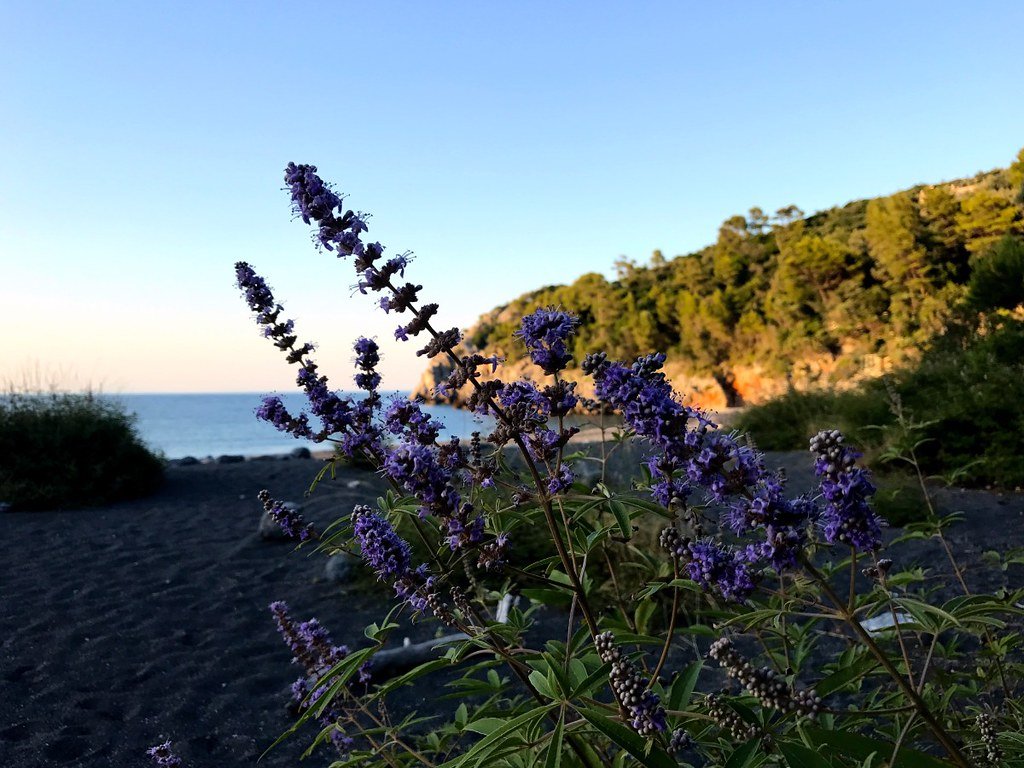 beach plant with long bundles of purple flowers at a beach in north evia island