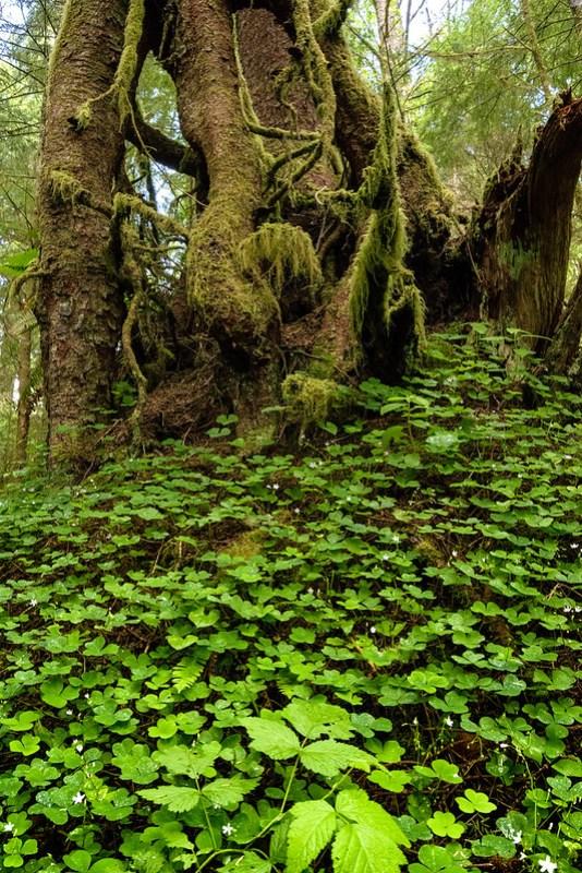 Ecola State Park - Sitka Spruce - Costa del Pacífico en Oregon
