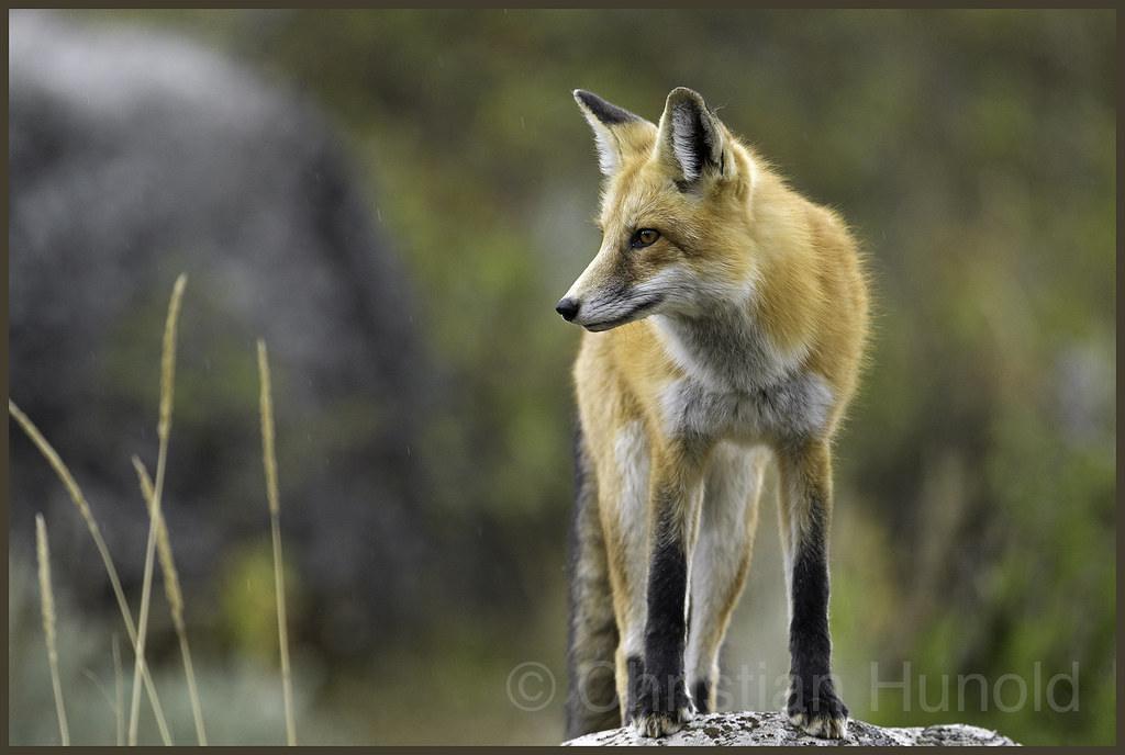 Animal Rights Wallpaper Red Fox Yellowstone National Park Wyoming We Observed