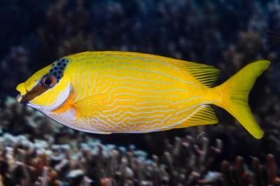 Masked Rabbitfish - Siganus puellus | Siganus puellus ...